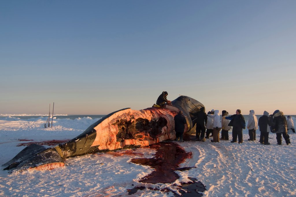 Stock Photo: 4340-1326 Inupiaq Subsistence Whalers Process a Bowhead Whale Catch