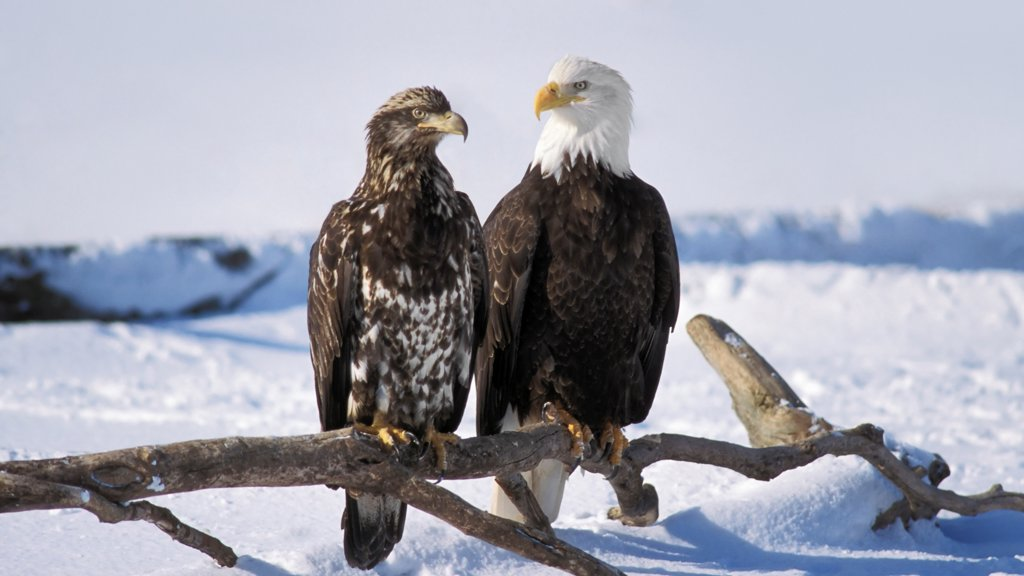 Stock Photo: 4340-134 Juvenile and Adult Bald Eagles in Homer, Alaska