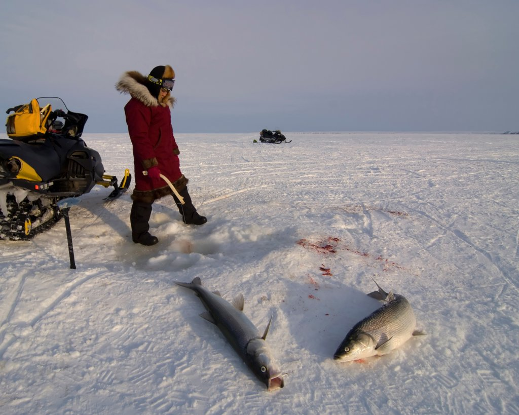 Inupiaq Woman Catching Fish through Pack Ice in the Chukchi Sea : Stock Photo
