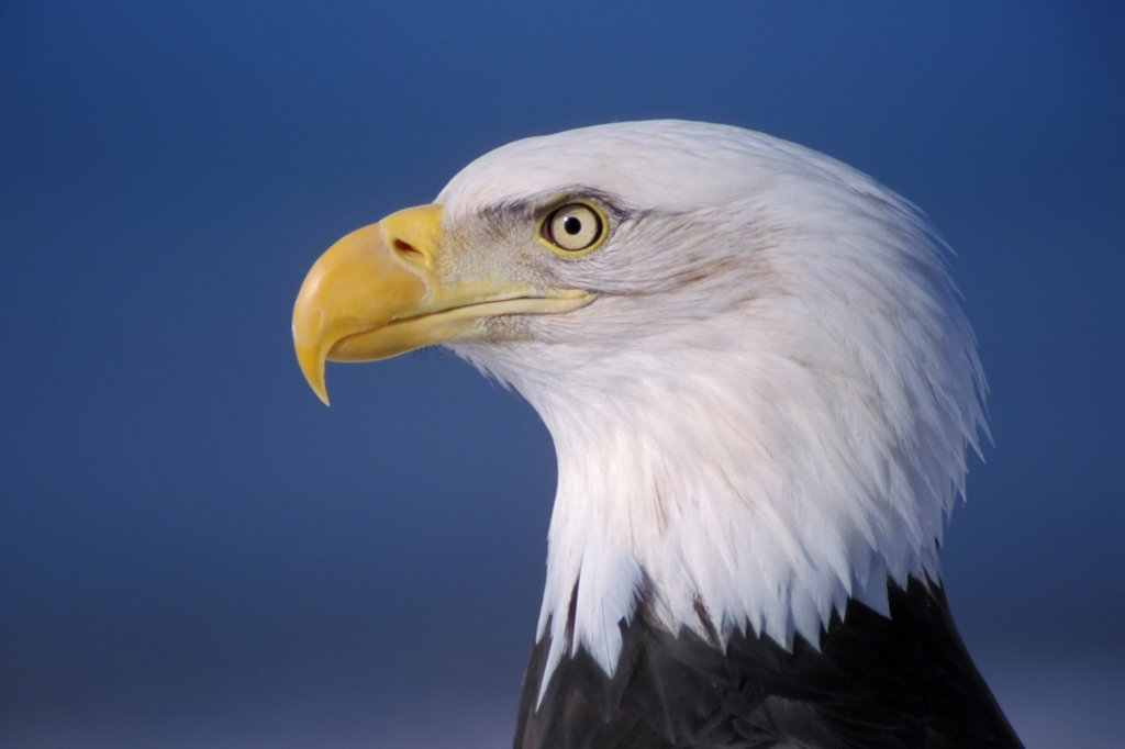 Stock Photo: 4340-140 Bald Eagle Profile