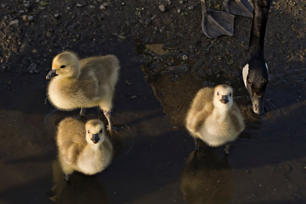 Stock Photo: 4340-1460 Canada Geese Chicks Drinking from a Puddle
