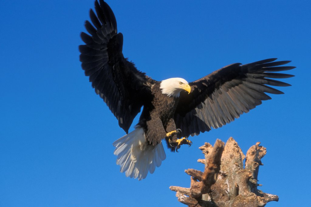 Stock Photo: 4340-149 Bald Eagle Landing on Driftwood Perch