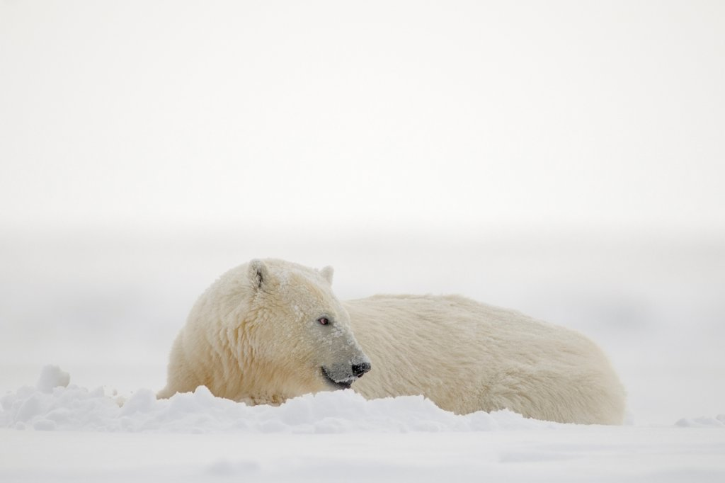 Stock Photo: 4340-1514 Polar Bear Cub Resting On Newly Formed Pack Ice