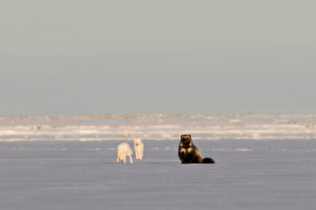 Stock Photo: 4340-1556 Wolverine with Two Arctic Foxes On The Pack Ice