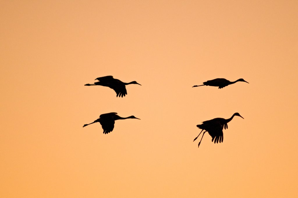 Stock Photo: 4340-1694 Sandhill cranes (Grus canadensis) wintering in New Mexico come in for a landing on a pond at sunset, in the Bosque del Apache National Wildlife Refuge.