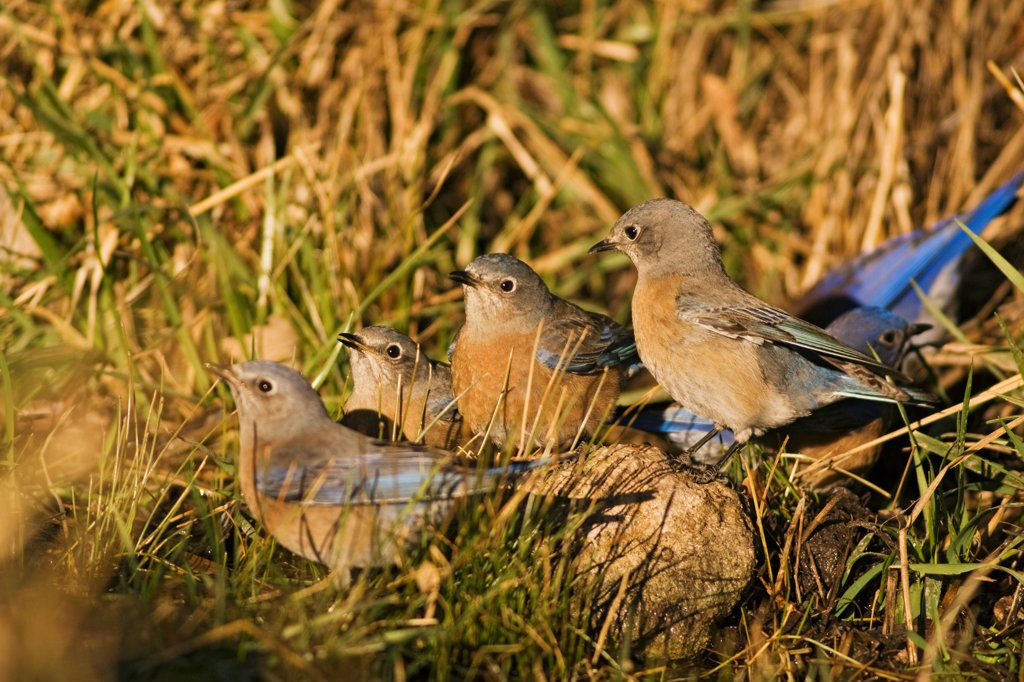 Stock Photo: 4340-1746 Male and female Western bluebirds (Sialia mexicana) at a natural spring at sunrise, at the base of the Guadalupe Mountains National Park, west Texas