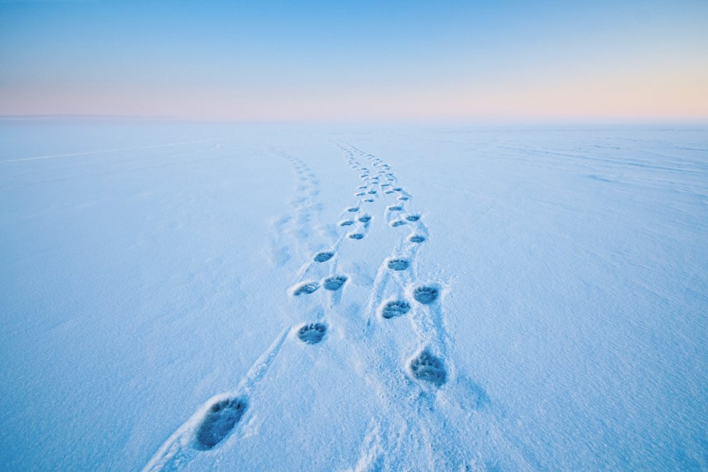 Stock Photo: 4340-2367 Polar bear (Ursus maritimus) footprints in the snow along a barrier island during Fall freeze up, Bernard Spit, off the 1002 area of the Arctic National Wildlife Refuge, Alaska.
