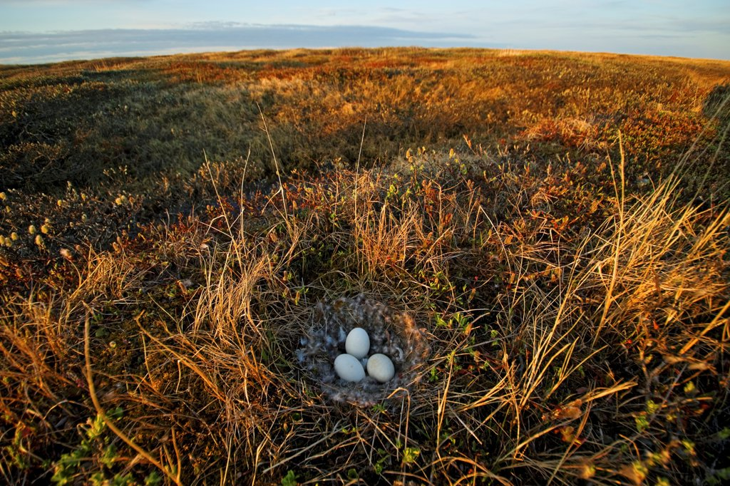 Goose Eggs in a Nest on Alaskan Arctic Tundra : Stock Photo