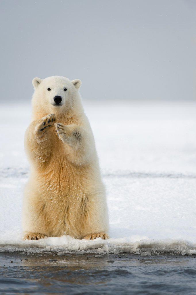 Polar Bear Cub Sitting Up : Stock Photo