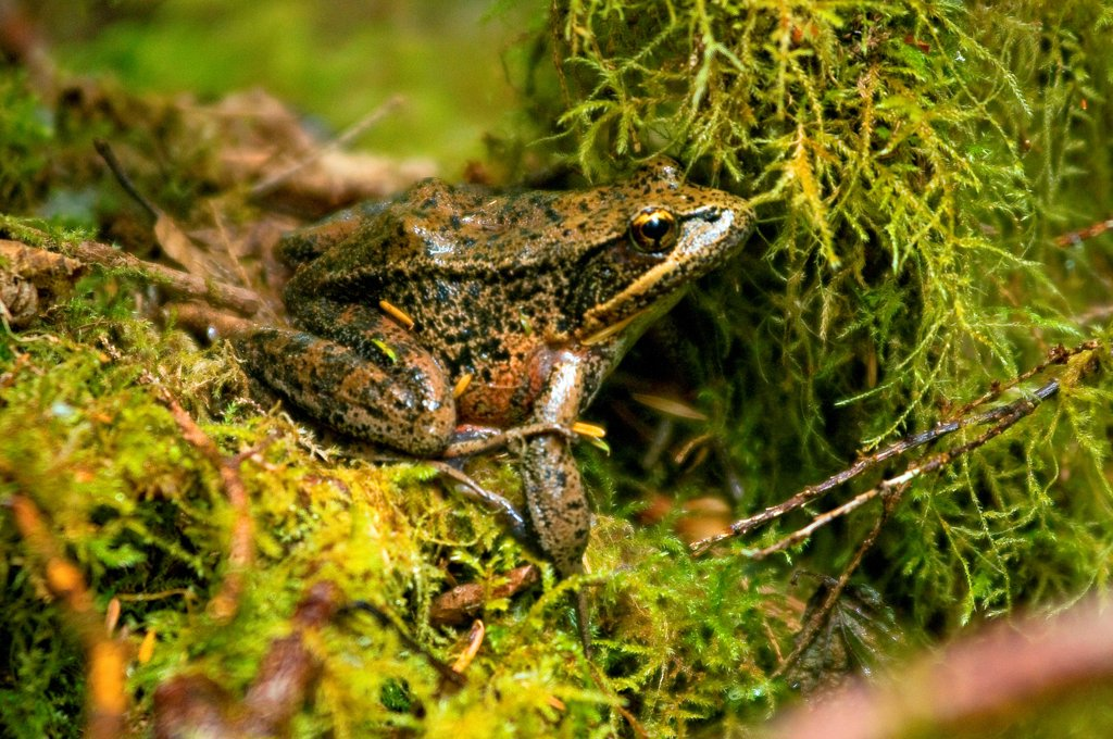 red-legged frog, Rana aurora, adult almost camoflauged in the lush mosses of the Quinault rainforest in summer, Olympic National Park, Olympic Peninsula, Washington : Stock Photo