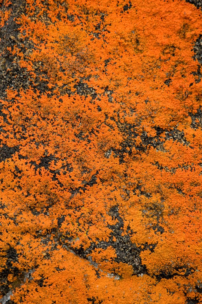 Stock Photo: 4340-2478 Firey orange Xanthoria sp. lichen encrusted on a tunra rock in the Sylvia Grinnell River area in summer, Baffin Island, Nunavut Territory, Canada