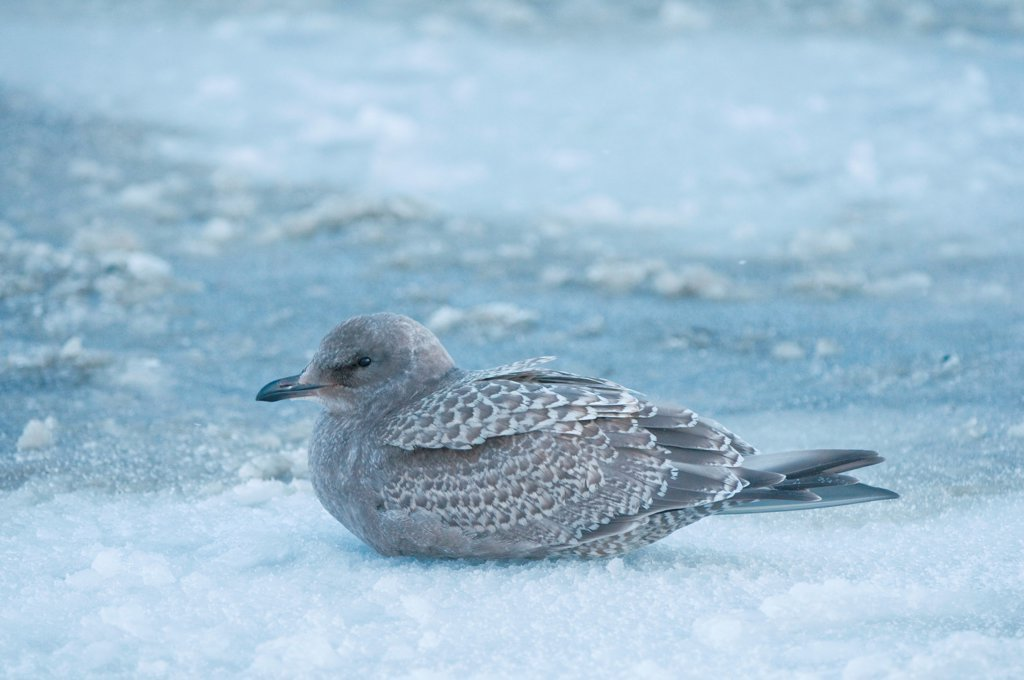 herring gull, Larus argentatus, juvenile rests on newly formed pack ice along the coast, 1002 area of the Arctic National Wildlife Refuge, North Slope of the Brooks Range, Alaska, autumn : Stock Photo