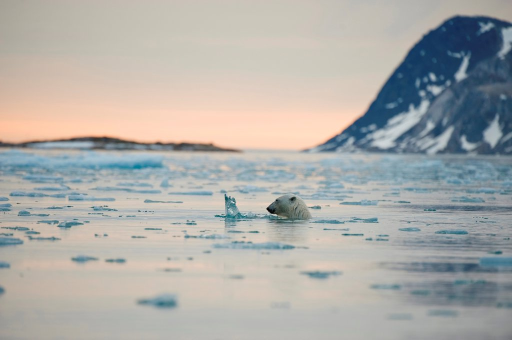 Stock Photo: 4340-2742 Polar bear (Ursus maritimus), boar swims in waters off Fuglefjorden, Spitsbergen and the northwest coast of the Svalbard Archipelago, Norway, Greenland Sea, Summer