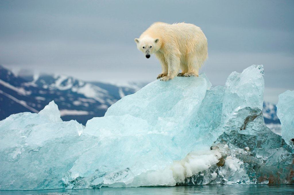 Stock Photo: 4340-2746 Polar bear (Ursus maritimus), perches atop a melting glacial ice floe along Woodfjorden, Spitsbergen and the northwest coast of the Svalbard Archipelago, Norway, Greenland Sea, Summer