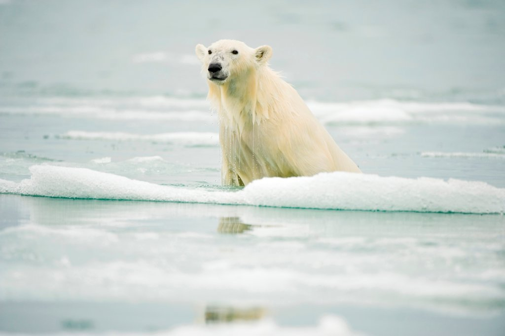 Stock Photo: 4340-2747 Polar bear (Ursus maritimus), climbs onto a piece of melting glacial ice floe, along Spitsbergen and the northwest coast of the Svalbard Archipelago, Norway, Greenland Sea, Summer