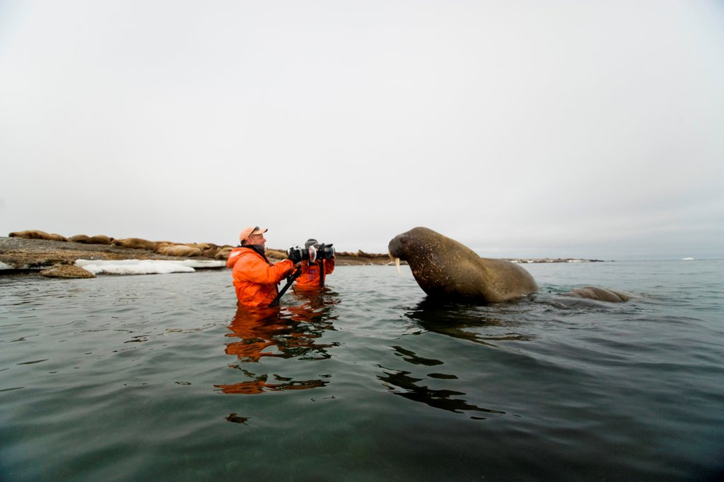 Stock Photo: 4340-2750 Photographers shoot a curious young bull walrus (Odobenus rosmarus), Nordaustlandet, Spitsbergen and the northwest coast of the Svalbard Archipelago, Norway, Arctic Ocean, Summer