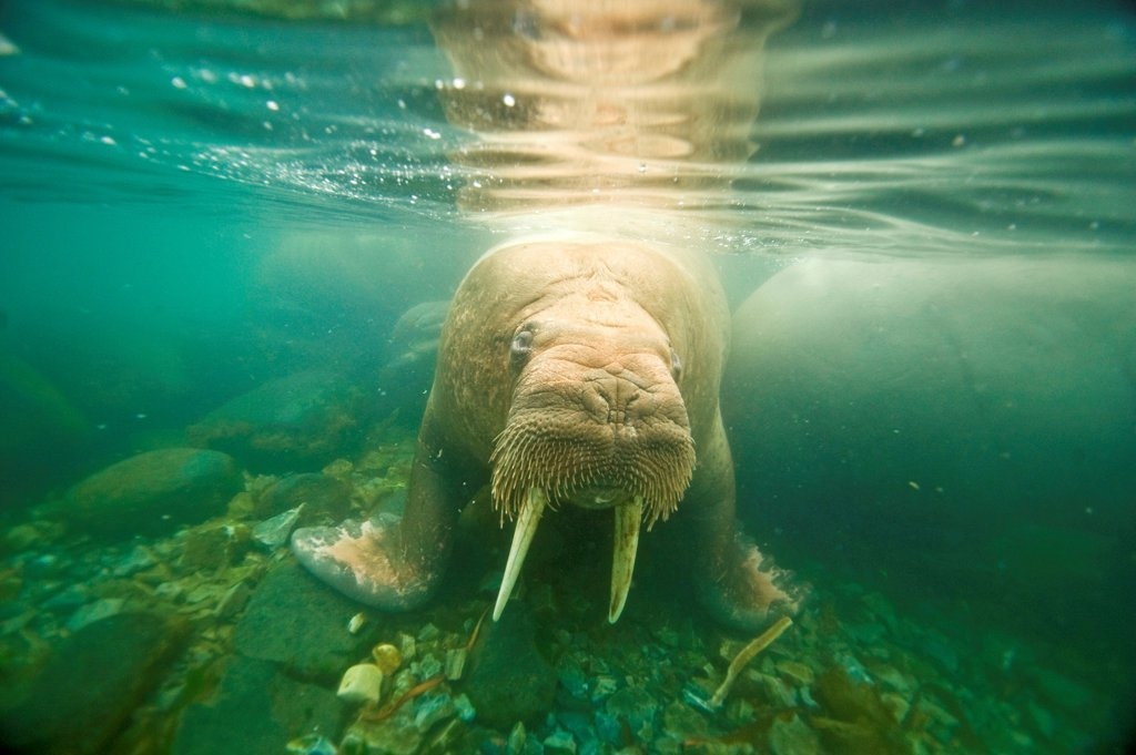 Walrus (Odobenus rosmarus), curious young bull approaches underwater, along Spitsbergen and the northwest coast of the Svalbard Archipelago, Norway, Arctic Ocean, Summer : Stock Photo