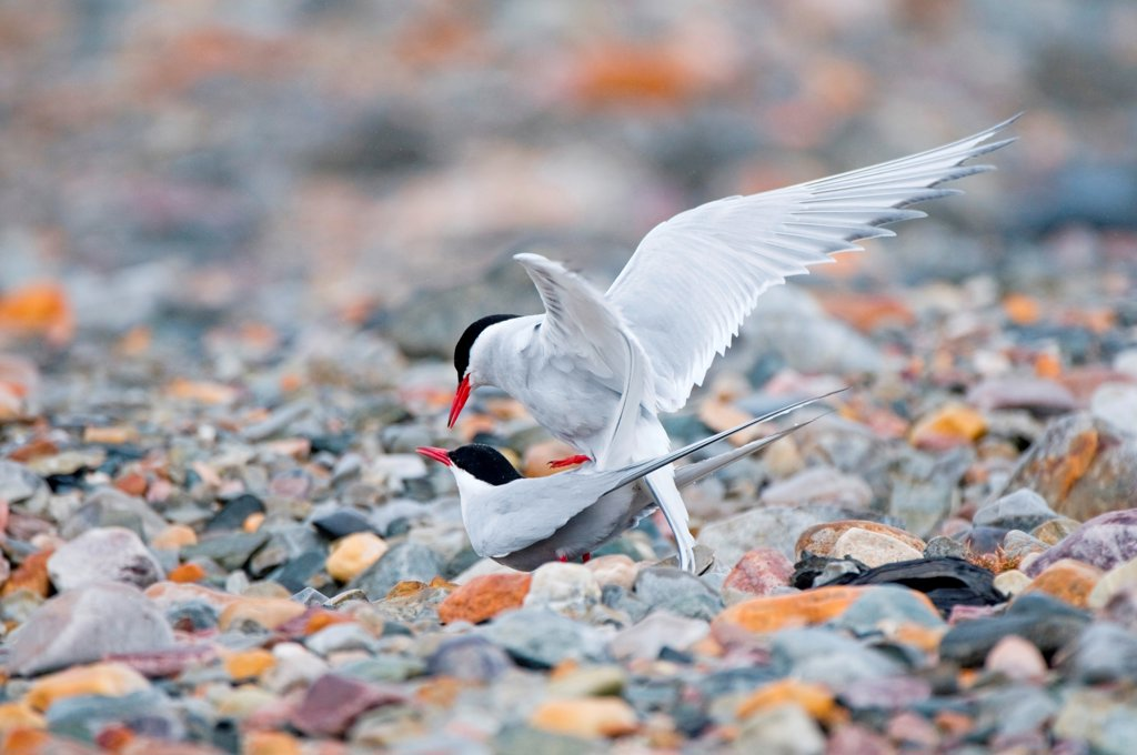 Stock Photo: 4340-2755 Arctic tern (Sterna paradisaea), pair of adults mating on rocky tundra, Spitsbergen, Svalbard Archipelago, Norway, Summer