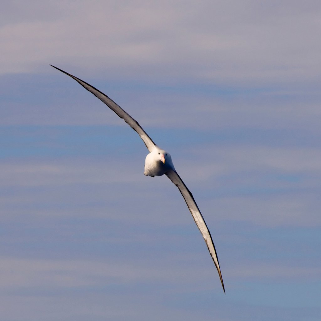 Stock Photo: 4340-276 Wandering Albatross in Flight