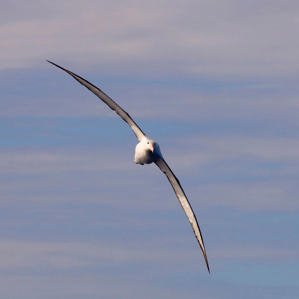 Wandering Albatross in Flight : Stock Photo