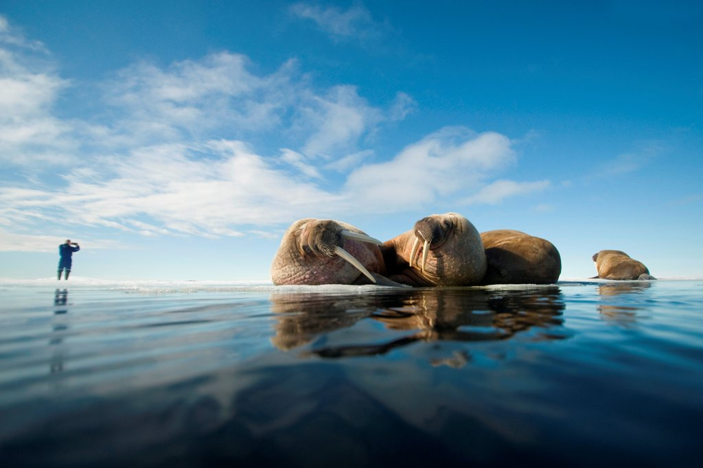 Walrus (Odobenus rosmarus), group rests on sea ice under a sunny summer sky, in Nordaustlandet, along Spitsbergen and the northwest coast of the Svalbard Archipelago, Norway, Arctic Ocean, Summer : Stock Photo