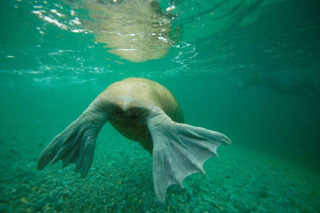 Backside of a bull walrus (Odobenus rosmarus), as it swims underwater, Nordaustlandet, along Spitsbergen and the northwest coast of the Svalbard Archipelago, Norway, Arctic Ocean, Summer : Stock Photo