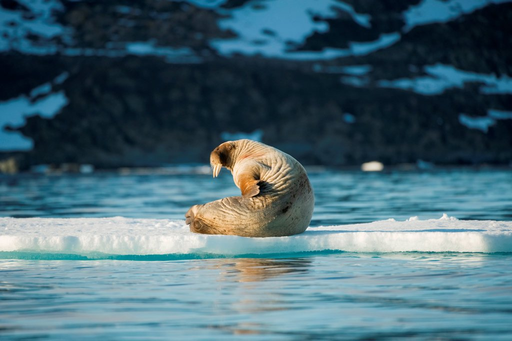 Walrus (Odobenus rosmarus), young bull scratches and suns itself on an ice floe floating in Zeipelbukta, along Spitsbergen and the northwest coast of the Svalbard Archipelago, Norway, Greenland Sea, Summer : Stock Photo
