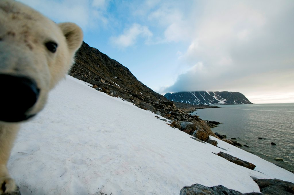 Polar bear (Ursus maritimus), curious adult investigates a remote camera along a snowy hillside on Spitsbergen and the northwest coast of the Svalbard Archipelago, Norway, Greenland Sea, Summer : Stock Photo