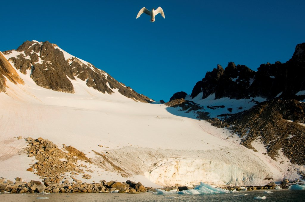 Stock Photo: 4340-2786 Seagull in flight above a rocky glacier landscape, along Spitsbergen and the northwest coast of Svalbard, Norway, Summer