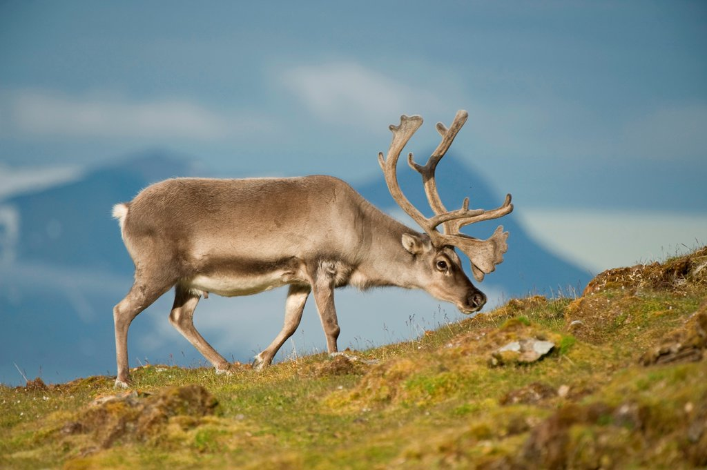 Stock Photo: 4340-2792 Svalbard reindeer (Rangifer tarandus platyrhynchus), a small subspecies of Rangifer tarandus, adult buck forages on tundra vegetation, St. Jonsfjorden, northwestern Spitsbergen, Svalbard Archipelago, Norway, summer Ê