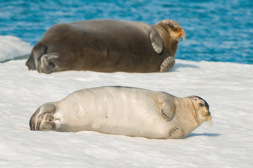 Stock Photo: 4340-2801 Bearded seal (Erignathus barbatus), cow with pup rest on sea ice floating off the arctic coast of Spitsbergen, Svalbard Archipelago, Norway, Summer