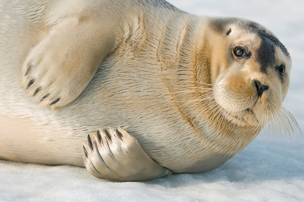 Stock Photo: 4340-2802 Bearded seal (Erignathus barbatus), close up of a pup resting on sea ice floating off the arctic coast of Spitsbergen, Svalbard Archipelago, Norway, Summer