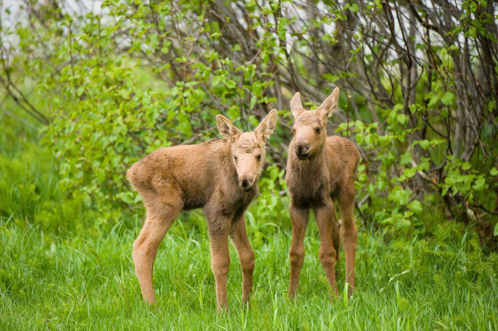 USA, Alaska, Anchorage, Tony Knowles Coastal Trail, Moose (Alces alces), newborn calves in spring vegetation along trail : Stock Photo