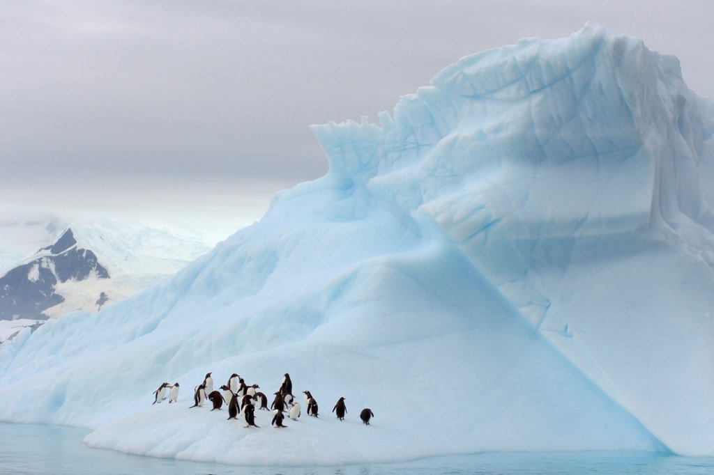 Stock Photo: 4340-321 Gentoo Penguins on an Iceberg