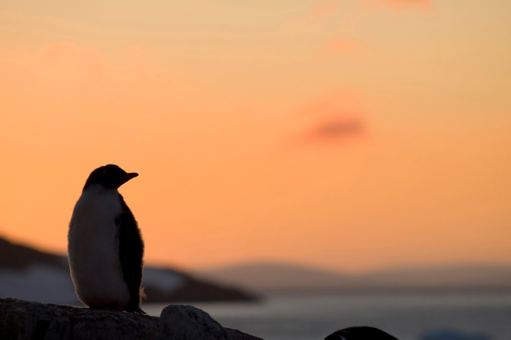 Gentoo Penguin : Stock Photo
