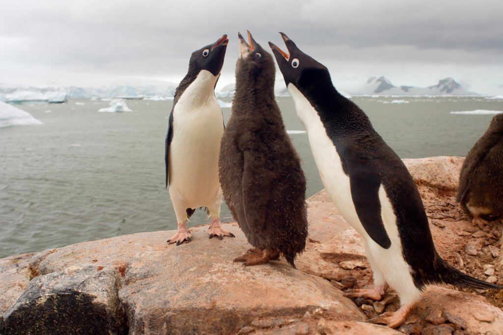 Adelie Penguin Parents with Chick : Stock Photo