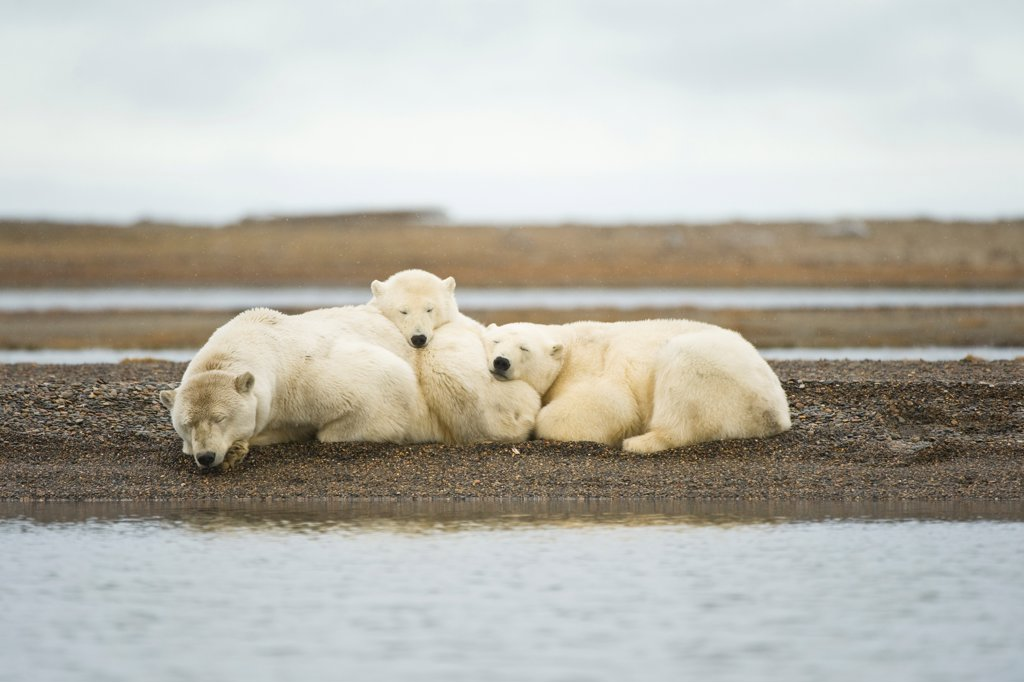 Polar bear (Ursus maritimus) sow with cubs resting on barrier island, Bernard Spit, Arctic National Wildlife Refuge, North Slope, Alaska, USA : Stock Photo