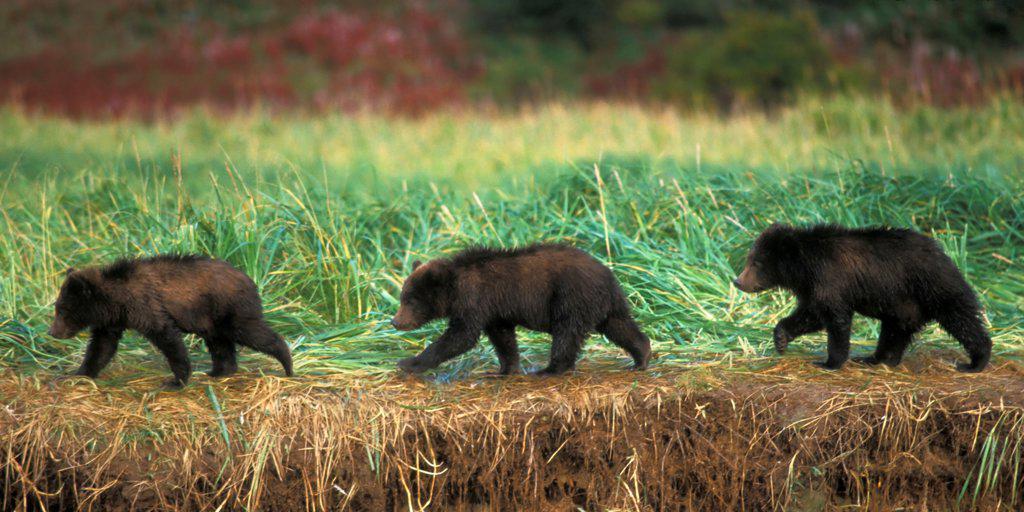 Three Grizzly Bear Cubs Walk Along a Riverbank, Katmai National Park and Preserve, Alaska : Stock Photo