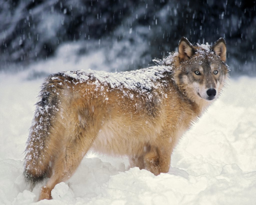Gray Wolf in the Snowy Takshanuk Mountains : Stock Photo