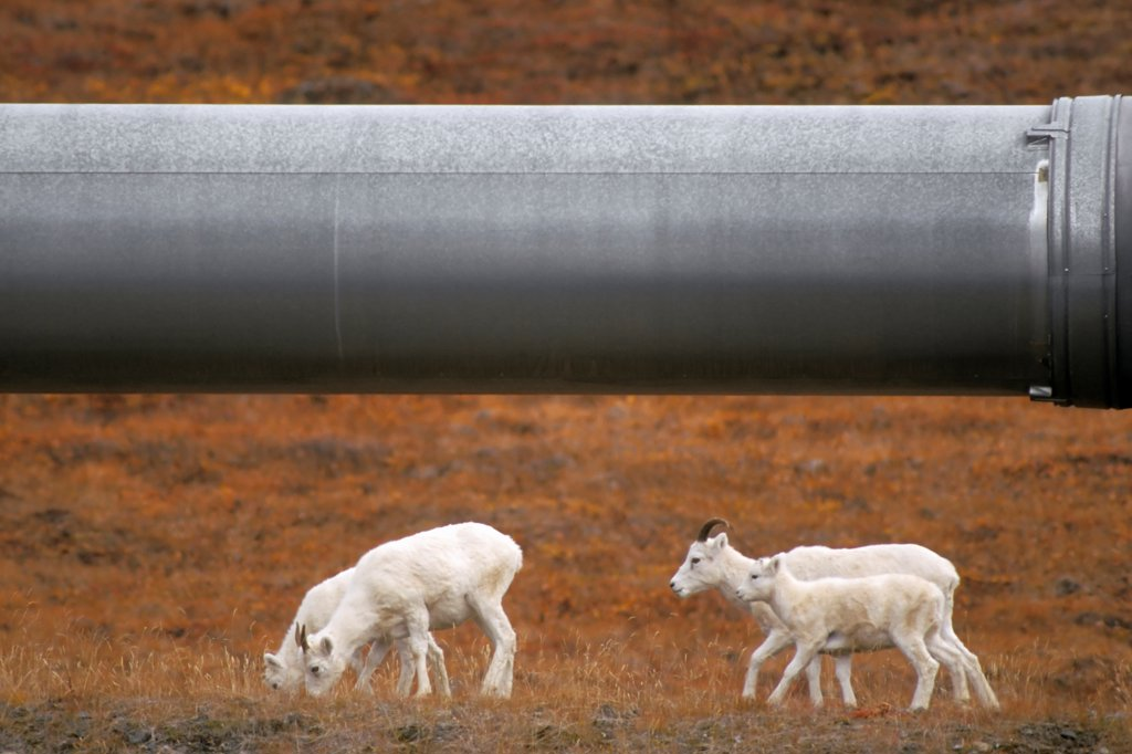 Stock Photo: 4340-451 Dall Sheep Ewes and Lambs Walking Along the Trans-Alaskan Pipeline
