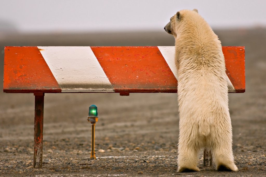 Stock Photo: 4340-539 Polar Bear Cub Playing on a Airport Runway Marker