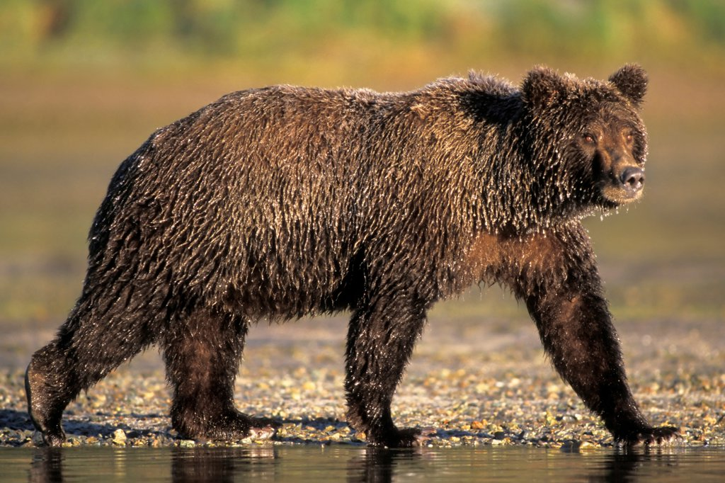 Stock Photo: 4340-597 Brown Bear Walking Along a River