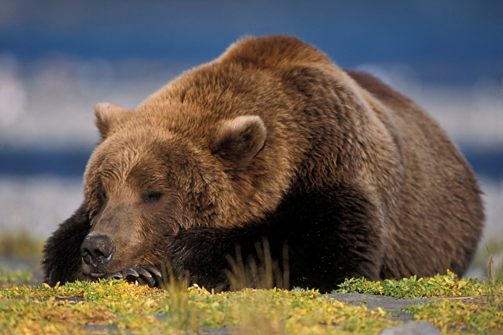 Brown Bear Napping : Stock Photo