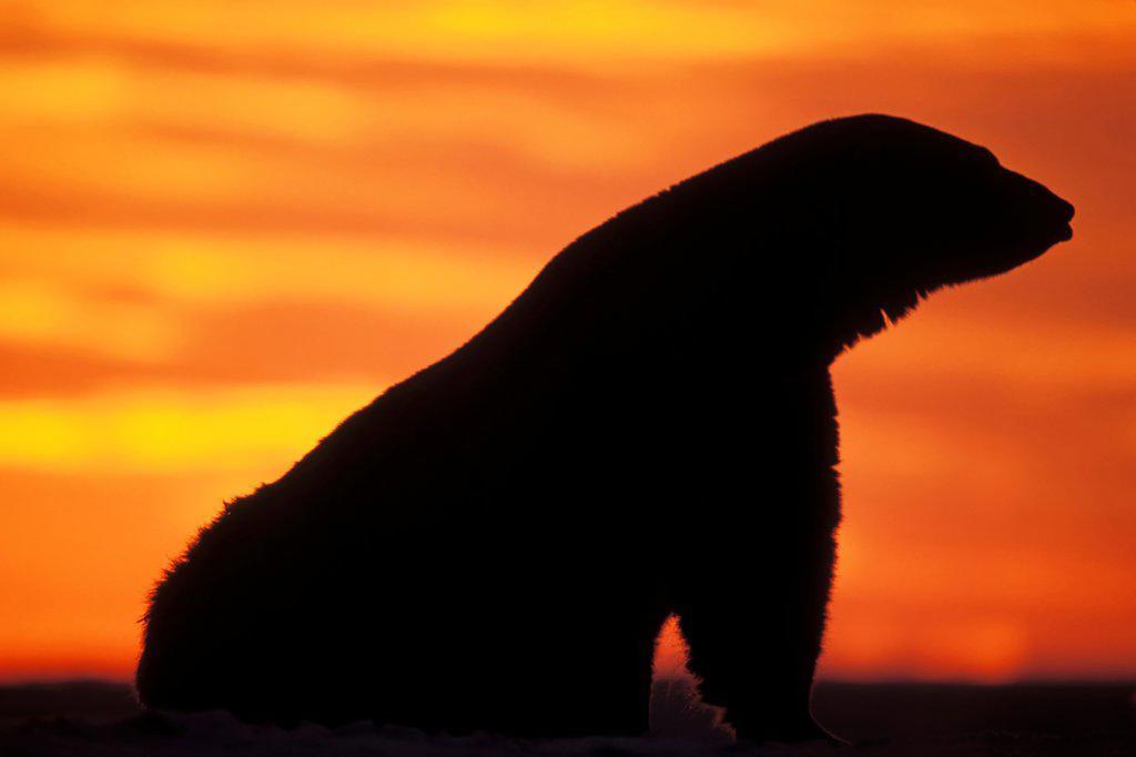 Polar Bear Silhouette : Stock Photo