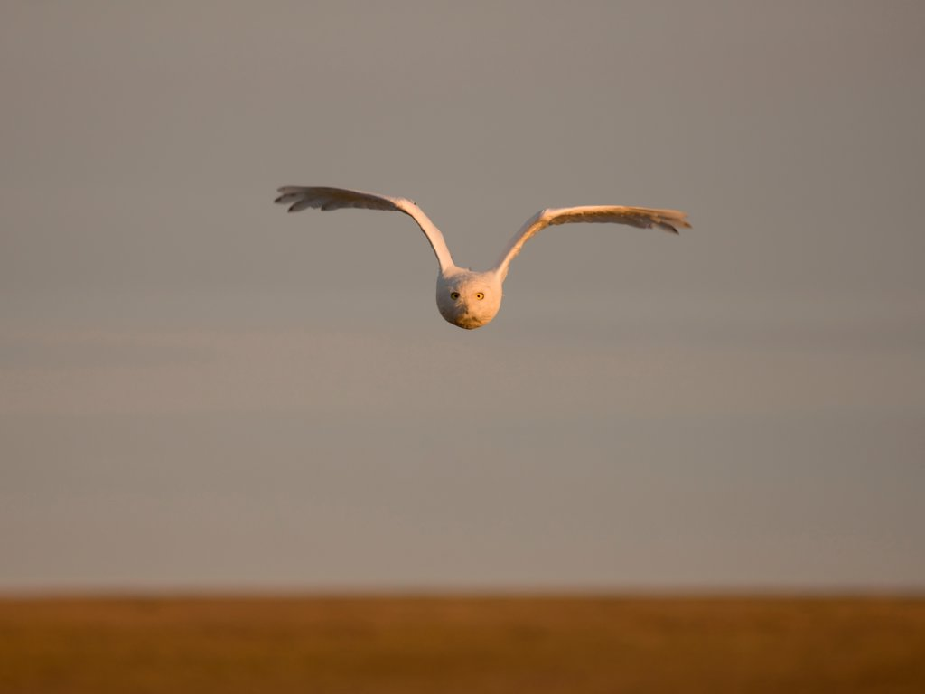 Snowy Owl in Flight : Stock Photo