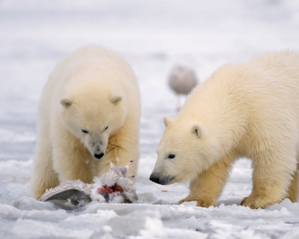 Polar Bear Cubs Practice Their New Hunting Skills : Stock Photo
