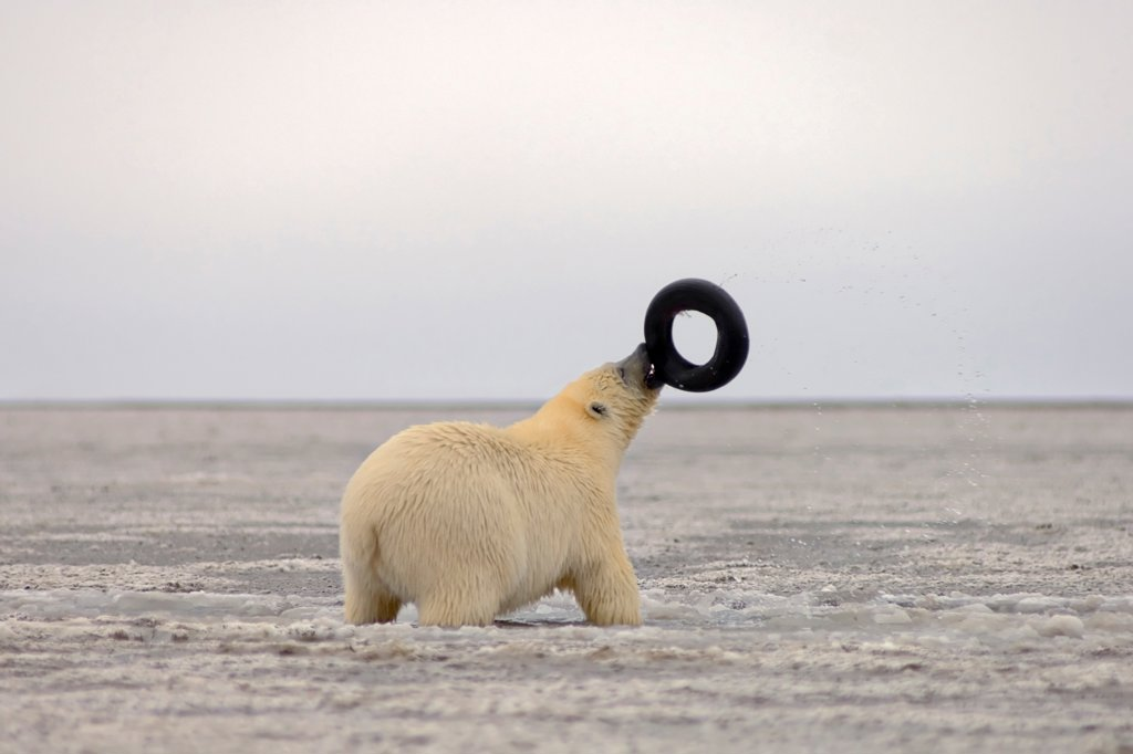 Stock Photo: 4340-821 Polar Bear Plays With an Old Tire on the Pack Ice