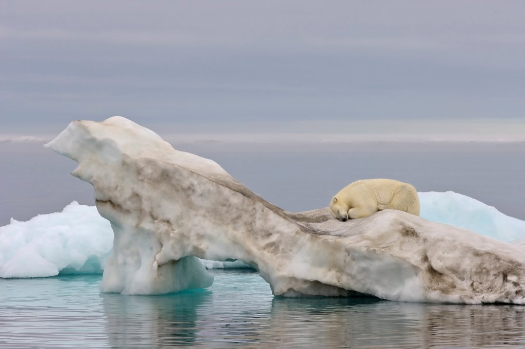 Polar Bear Sleeping on an Ice Floe : Stock Photo