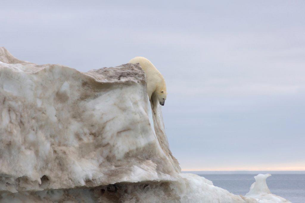 Polar Bear Climbing Down an Iceberg Floating in the Beaufort Sea : Stock Photo