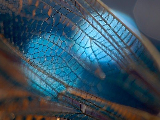Stock Photo: 4347-197 Extreme Close-Up of a Dragonfly Wing